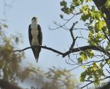 Osprey (Male)