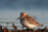 Vadare - Shorebirds