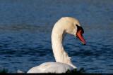 Svanar & Gäss - Swans & Geese