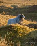 Mar 21 - Sheep