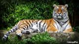 2014-85 Tiger
