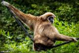 2014-87 Gibbon