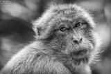 2014-91 Macaque
