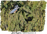 20131012 099 Belted Kingfisher HP.jpg