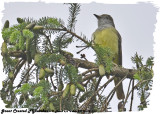 20130608 160 Great Crested Flycatcher.jpg