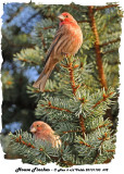 20131103 692 House Finches.jpg