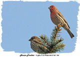 20131103 728 House Finches.jpg