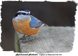 20131108 094 Red-breasted Nuthatch.jpg