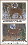 14 20101127 145 127  White-tailed 10 point wounded Buck.jpg