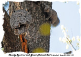 20130505 139 SERIES - Cheeky Squirrel and Great Horned Owl.jpg