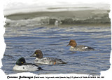 20140224 360 Commen Goldeneyes (adult male, 1st yr male, adult female (top)).jpg