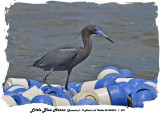 20140324 - 1 421 Little Blue Heron (Jamaica).jpg