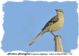 20140324 - 1 1162 SERIES -  Northern Mockingbird aka Jamaican Nightingale.jpg