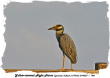 20140324 - 1 1466 Yellow-crowned Night Heron Jamaica.jpg