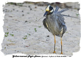 20140324 - 1 979 Yellow-crowned Night Heron (Jamaica).jpg