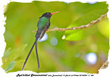 20140324 - 2 345 Red-billed Streamertail aka Doctorbird.jpg