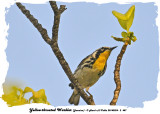 20140324 - 2 487 Yellow-throated Warbler Jamaica.jpg