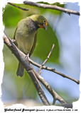 20140324 - 2 338 Yellow-faced Grassquit,  Jamaica.jpg