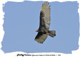 20140324 - 1 1208 Turkey Vulture (Jamaica)2.jpg