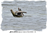 20140324 - 1 362 Brown Pelican (Jamaica).jpg