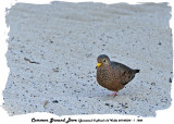 20140324 - 1 1200 Common Ground Dove (Jamaica).jpg