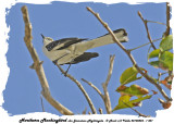 20140324 - 1 501 Northern Mockingbird aka Jamaican Nightingale.jpg
