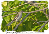 20140324 - 2 058 Northern Mockingbird (aka Jamaican Nightingale).jpg