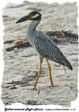 20140324 - 2 611 Yellow-crowned Night Heron.jpg