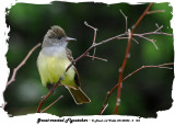 20140528 - 2 124 SERIES - Great-crested Flycatcher.jpg