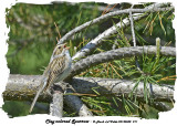 20140602 211 Clay-colored Sparrow.jpg