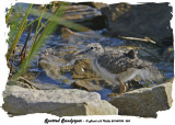 20140705 055 SERIES - Spotted Sandpiper.jpg