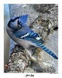 20141229 600 Blue Jay.jpg