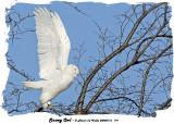 20080116 119 Snowy Owl1 .jpg