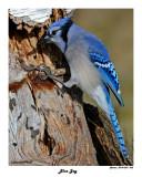 20141229 560 Blue Jay 1r1.jpg