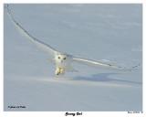 20150106 158 Snowy Owl2.jpg