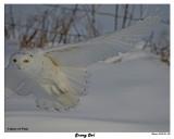 20150106 244 Snowy Owl.jpg