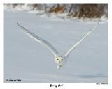 20150106 156 Snowy Owl.jpg