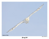 20150106 476 Snowy Owl.jpg