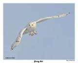 20150106 503 Snowy Owl.jpg