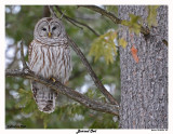 20150124 027 SERIES -  Barred Owl.jpg