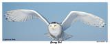 20150114 1227 Snowy Owl3.jpg