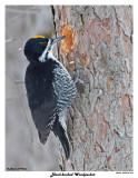 20150129 244 Black-backed Woodpecker (m).jpg