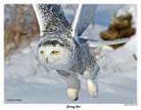20150114 464 SERIES -  Snowy Owl c1.jpg