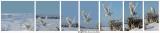 20150114 081 82 83 84 85 86 88 Snowy Owl xxx.jpg