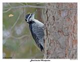 20150129 337 Black-backed Woodpecker.jpg