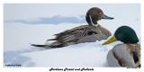 20150203 181 Northern Pintail and Mallards.jpg