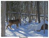 20150131 023 White-tailed Deer.jpg