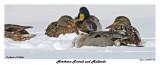 20150203 054 SERIES -  Northern Pintail and Mallards.jpg