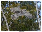 20150211 338 Barred Owl.jpg