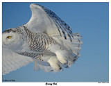 20150114 1230 Snowy Owl.jpg